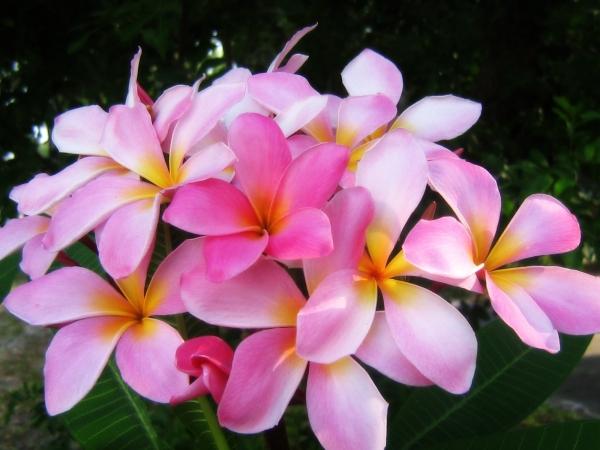 pink-plumeria-o-2800.jpg