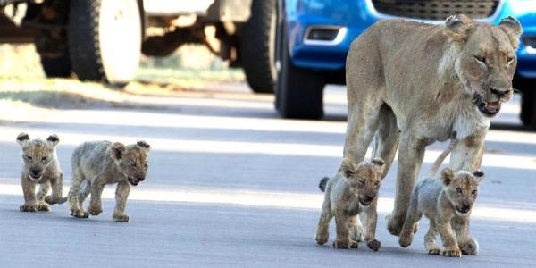Sortie-sur-le-parking-pour-la-lionne-et-ses-petits-dans-le-parc-national-Kruger-en-Afrique-du-Sud.jpg