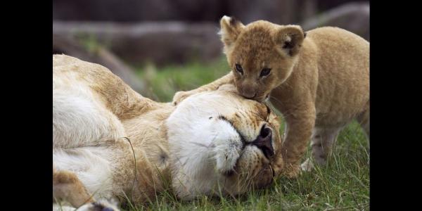 La-lionne-patiente-laisse-son-petit-jouer-avec-sa-queue.jpg