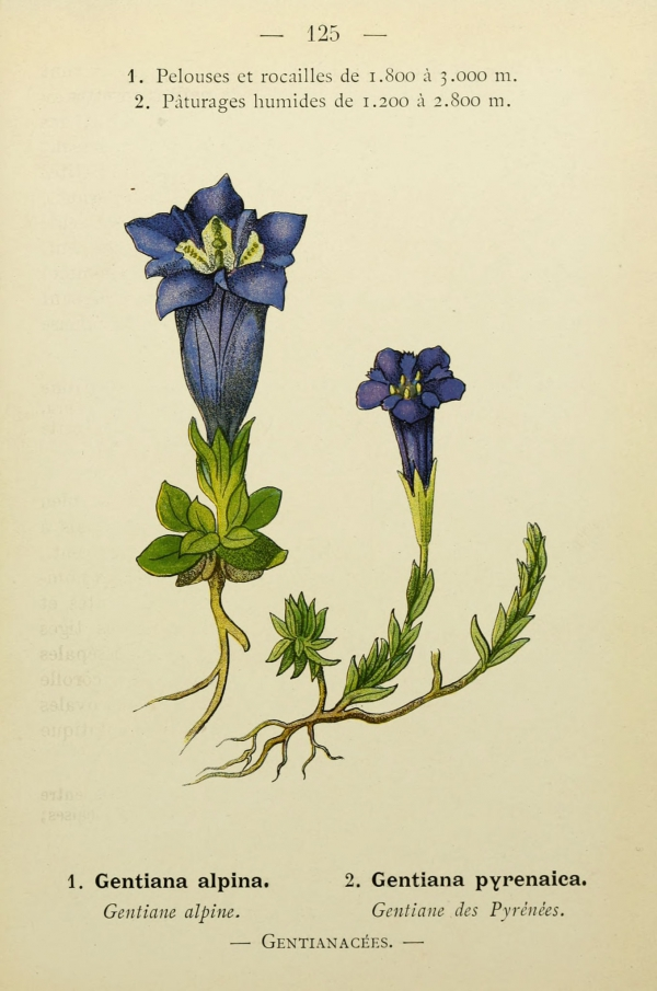 Flore_Alpes_Pyrenees_-_273_Gentiana_alpina_-_Gentiane_alpine.jpg
