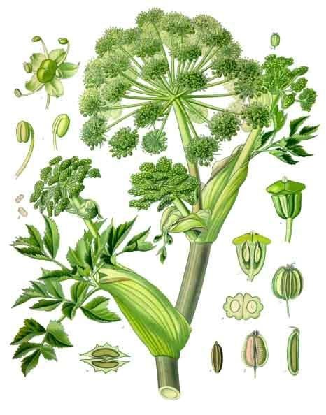 Angelica_archangelica_-_Köhler–s_Medizinal-Pflanzen-158.jpg