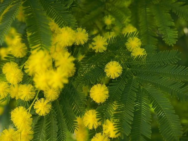 mimosa sabine.jpg