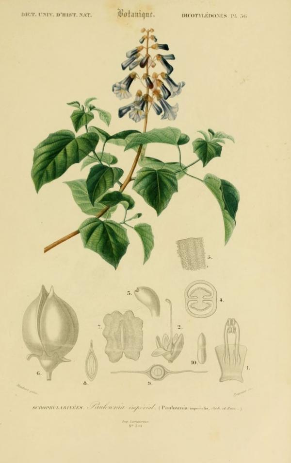 dessin botanique de fleur 0197 paulownia imperial - paulownia imperialis.jpg
