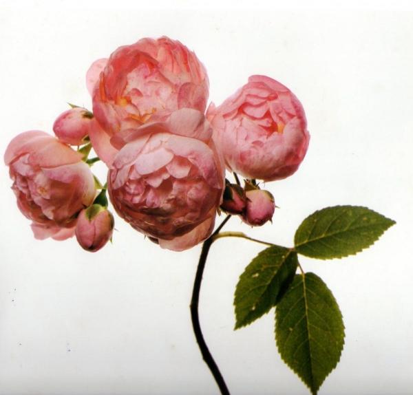 Irvin-Penn-flowers-pivoine-lily-griffiths.jpg