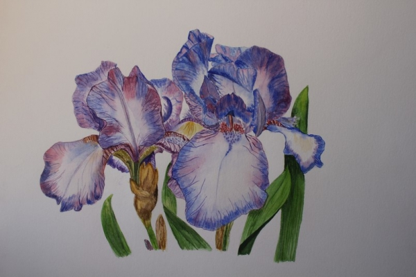 ob_ef69a1fe1627f61314df7d54c6c50f5c_iris-aquarelle.jpg