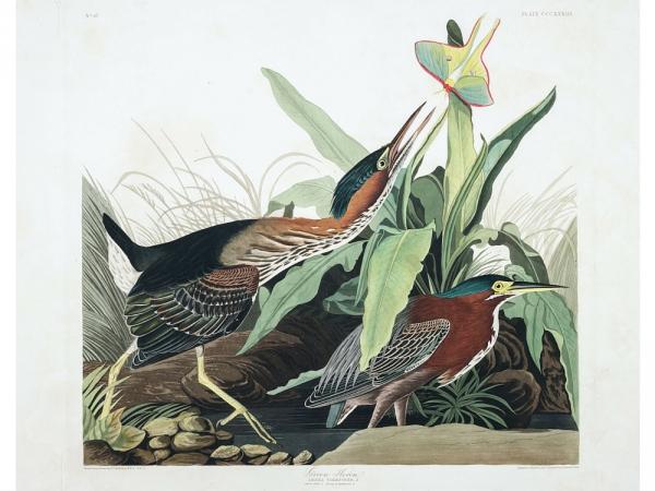 Oiseaux-Auddebon.jpg